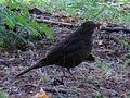 Common Blackbird-Mindaugas Urbonas-4.jpg