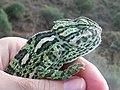 Common Chameleon (Chamaeleo chamaeleon) 02.jpg