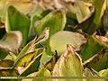 Common Chiffchaff (Phylloscopus collybita) (32341325343).jpg