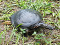 Common Cooter in Tampa, Florida.jpg