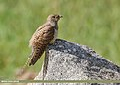 Common Cuckoo (Cuculus canorus) (43147224060).jpg