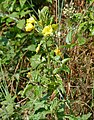 Common Evening Primrose (Oenothera biennis) (29212050358).jpg
