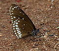 Common Indian Crow (Euploea core) mud-puddling W IMG 9354.jpg