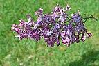 Common Lilac Syringa vulgaris 'Marechal Foch' Flower.JPG