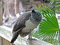Common Peafowl female RWD3.jpg