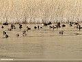 Common Pochard (Aythya ferina), Gadwall (Anas strepera), Greylag Goose (Anser anser), Red-crested Pochard (Netta rufina), Tufted Duck (Aythya fuligula) & Eurasian Coot (Fulica atra) (32311335894).jpg