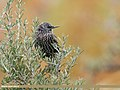 Common Starling (Sturnus vulgaris) (38741122995).jpg