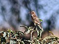Common Stonechat (Female) I IMG 8718.jpg