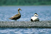 Common eider mf.jpg