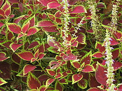 Plectranthus scutellarioides wikip dia for Plantas ornamentales wikipedia