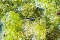 Common water strider (29145551401).jpg