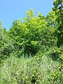 Conringia austriaca sl1.jpg
