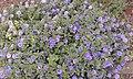 Convolvulus sabatius planta.jpg