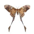 Copiopteryx sp.png