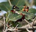 Coppersmith Barbet (Megalaima haemacephala) feeding on Ficus benghalensis W IMG 4369.jpg