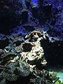 Corals in Okinawa Churaumi Aquarium 4.jpg