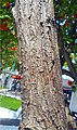 Cordia sebestena (2) trunk.jpg