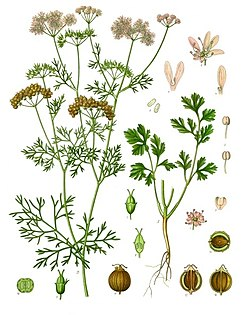 《科勒藥用植物》(1897), Coriandrum sativum