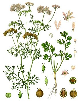 LES ÉPICES A TIGES ET A FEUILLES  I 290px-Coriandrum_sativum_-_Köhler–s_Medizinal-Pflanzen-193