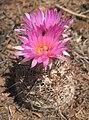 Coryphantha vivipara 2.jpg