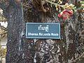 Couroupita guianensis sous le nom de Shorea robusta (P1080233).jpg