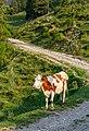 Cow in the early morning by Koča na Prevalu in Karawanks, Slovenia 03.jpg
