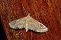 Crambid Moth (Eoophyla gibbosalis) (8071430843).jpg