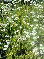 Crassula rubricaulis - South Africa.jpg