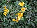 Crepis pulchra Bosilegrad 1.JPG