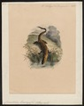Crocodilus lucius - 1700-1880 - Print - Iconographia Zoologica - Special Collections University of Amsterdam - UBA01 IZ12200001.tif