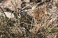 Crotalus oreganus oreganus04.jpg