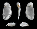 Cryptella canariensis 01.JPG