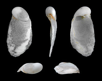 Semi-slug - Shell of Cryptella canariensis
