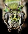 Ctenocolletes smaragdinus, f, australia, face 2014-08-08-13.48.25 ZS PMax (14865269708).jpg