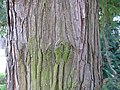 Cunninghamia lanceolata3.jpg