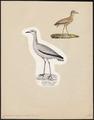 Cursorius gallicus - 1809-1845 - Print - Iconographia Zoologica - Special Collections University of Amsterdam - UBA01 IZ17200301.tif