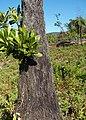 Cyathea glauca aerial roots.jpg