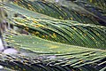 Cycas revoluta 27zz.jpg
