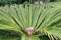 Cycas revoluta 33zz.jpg