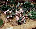 Cyclamen libanoticum.jpg