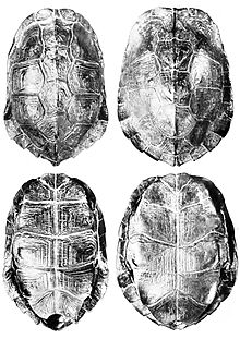 Cyclemys male and female shell.jpg