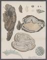 Cynthia microcosmus - - Print - Iconographia Zoologica - Special Collections University of Amsterdam - UBAINV0274 092 01 0037B.tif
