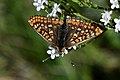 DSC 0189 Euphydryas aurinia.jpg