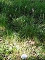 Dactylis glomerata ssp. aschersoniana - Botanical Garden, University of Frankfurt - DSC02428.JPG