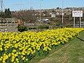 Daffodils at Lothianburn - geograph.org.uk - 747777.jpg