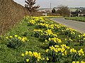 Daffodils near Hotham - geograph.org.uk - 365795.jpg