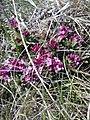 Daphne cneorum (Thymelaeaceae) 08.jpg