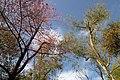Darjeeling, India, Tree canopy against the blue sky.jpg