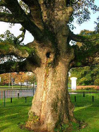 Darnley - Detail of the trunk of the Darnley Sycamore. This tree would have had to be in existence in the 1560s as Darnley died (was murdered) in 1567.