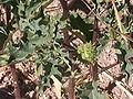 Datura Stramonium fruit.jpg